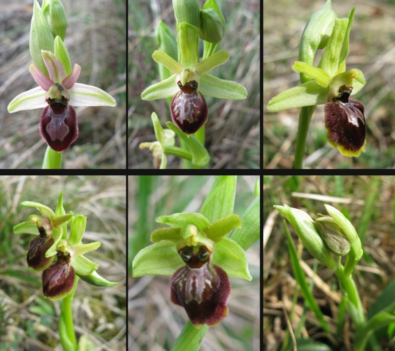 Ophrys exaltata marzuola (Ophrys de Mars ) O_marz11