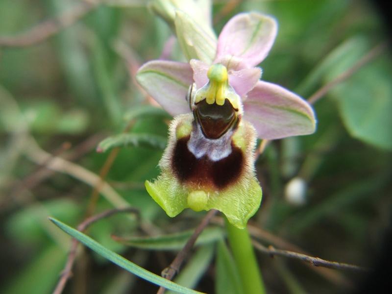 Ophrys tenthredinifera ( Ophrys guêpe ) O_then11