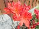 arbuste rouge Dscn0410