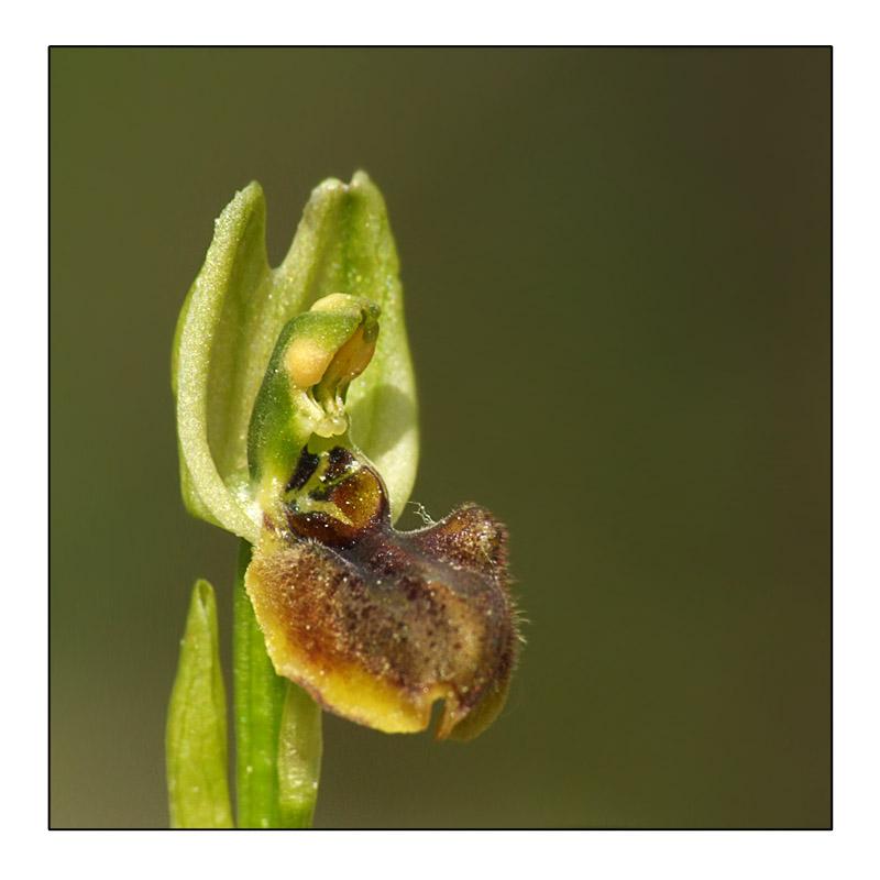Lusus Ophrys araneola Lusus_12
