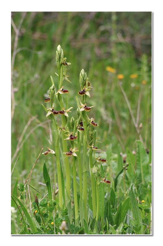 Ophrys riojana (Ophrys de la Rioja) O_rioj10