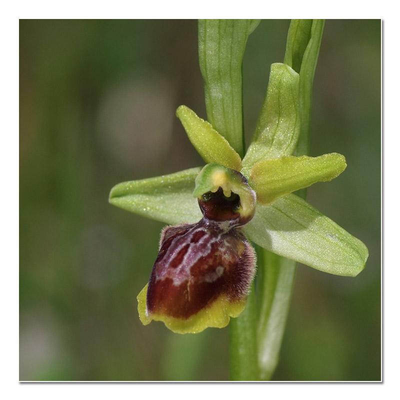 Ophrys riojana (Ophrys de la Rioja) O_rioj11