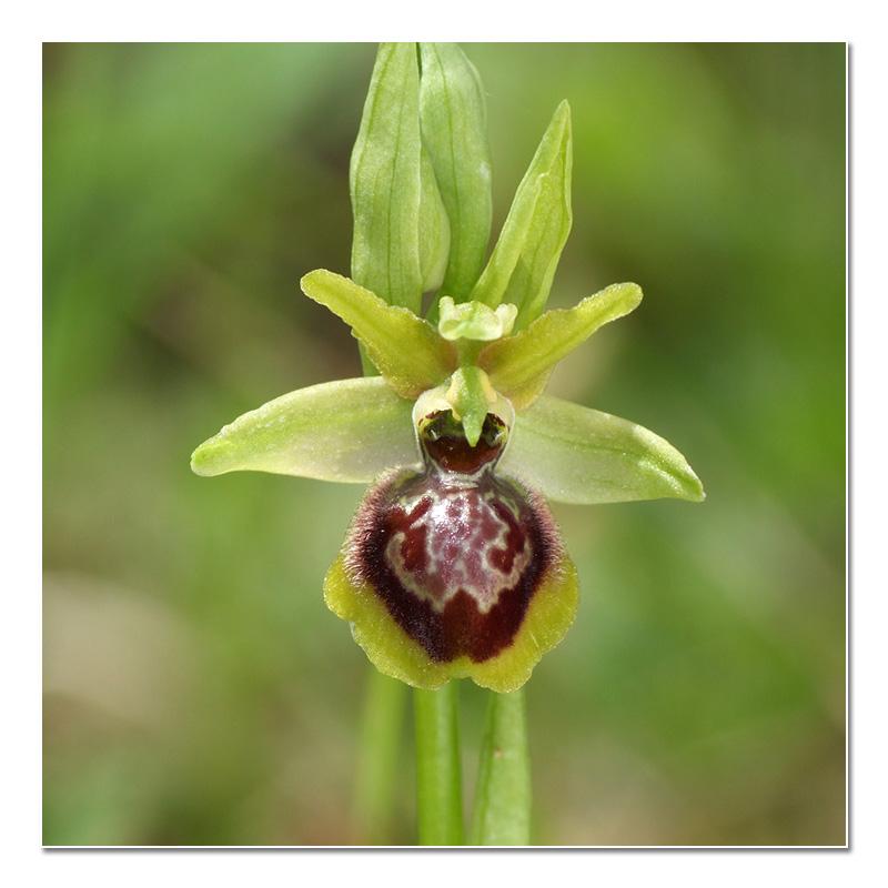 Ophrys riojana (Ophrys de la Rioja) O_rioj16