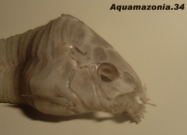 Plaques osseuses du Corydoras (photos) Cory_c12