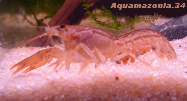Cambarellus montezumae Ecrevi16