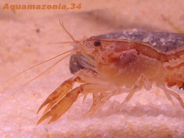 Cambarellus montezumae Ecrevi17