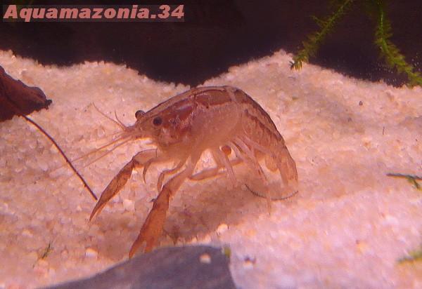 Cambarellus montezumae Ecrevi18