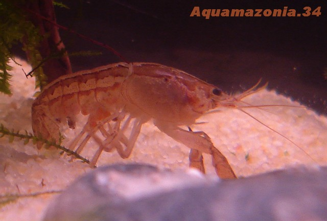 Cambarellus montezumae Ecrevi19