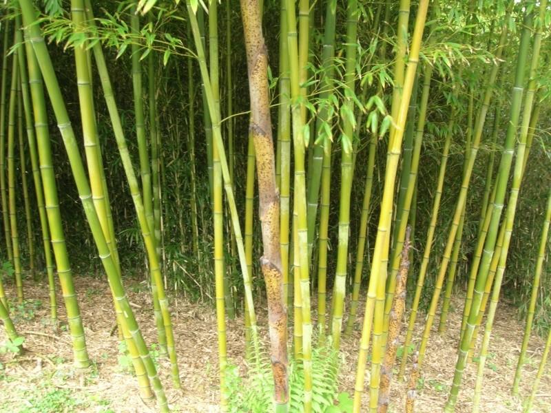 haie de bambous 2 Dscn1511