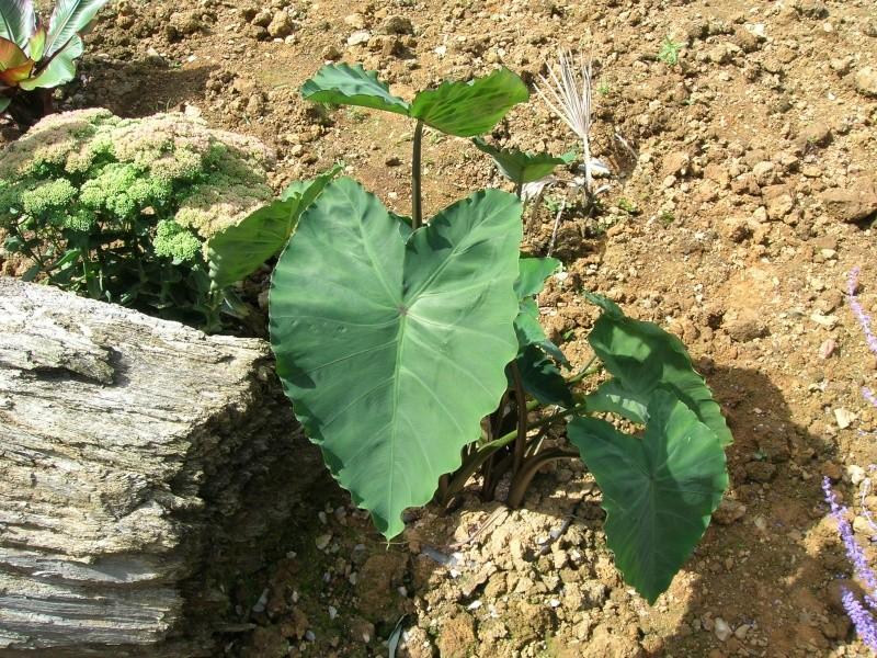 Les feuilles géantes du jardin Dscn1711