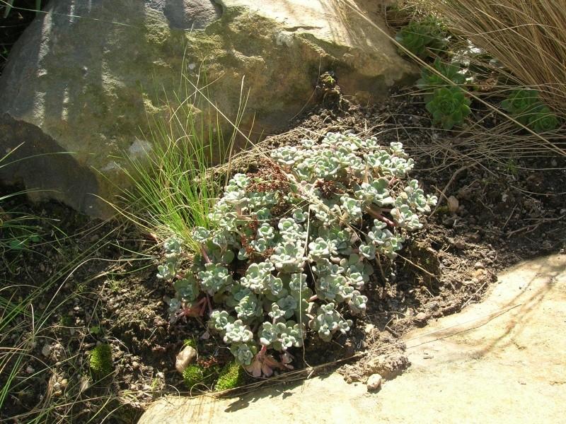 Les succulentes du jardin Dscn1716