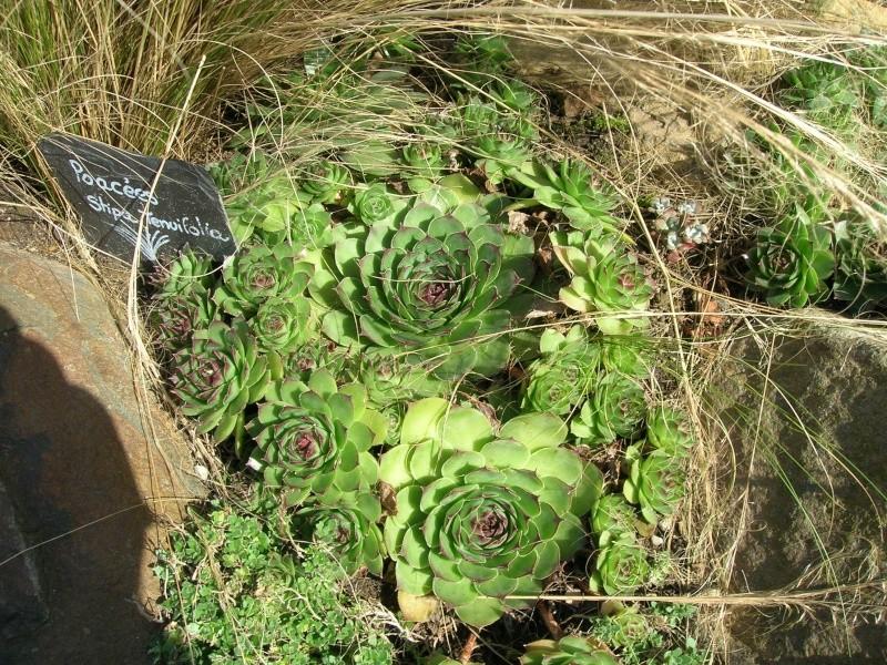 Les succulentes du jardin Dscn1717