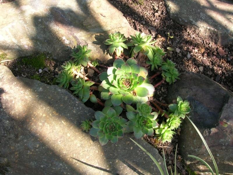 Les succulentes du jardin Dscn1719