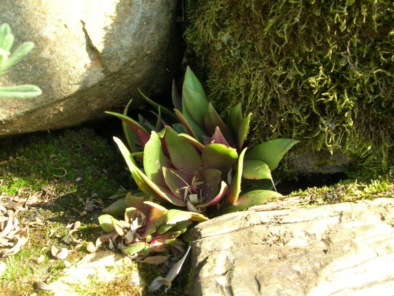 Les succulentes du jardin Dscn1720