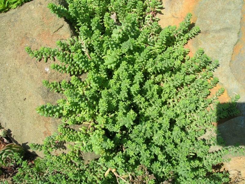 Les succulentes du jardin Dscn1723