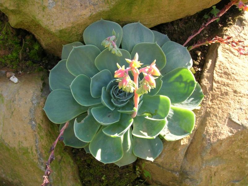 Les succulentes du jardin Dscn1724