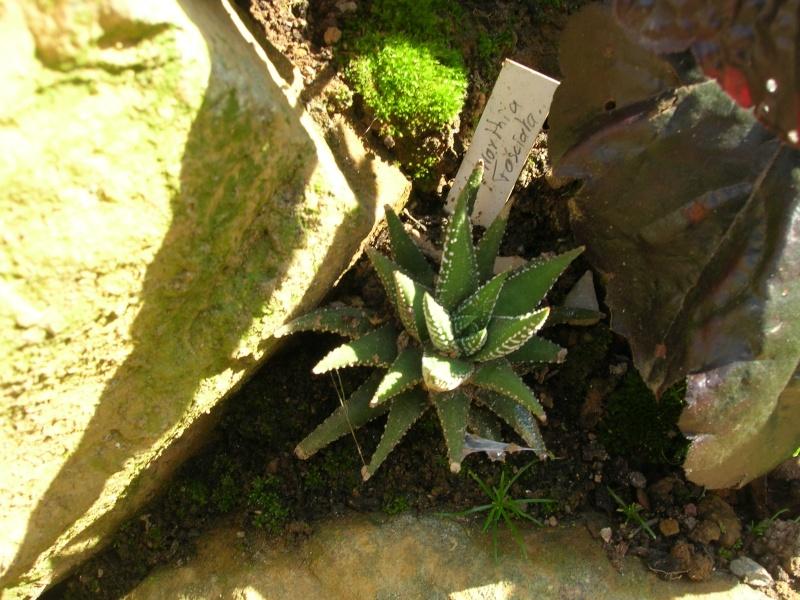 Les succulentes du jardin Dscn1727