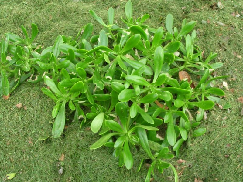 Les succulentes du jardin Dscn1729