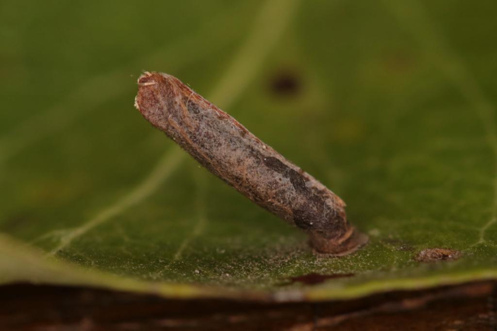 Coleophora spinella ? Case_c10