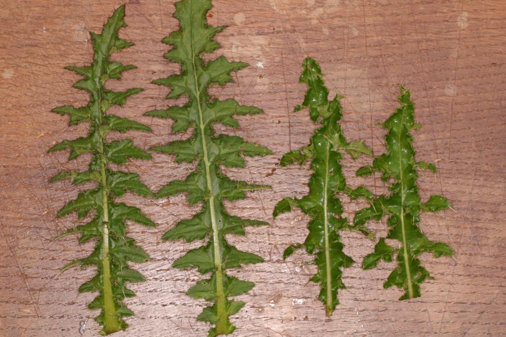 Du cirse (Cirsium vulgare) Cirse10