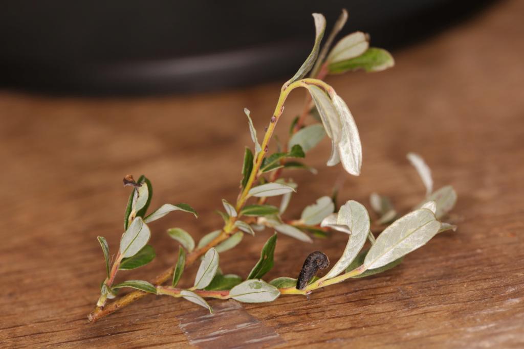 Salix repens ? Coleop10