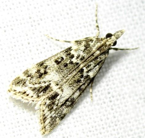 Eudonia lineola Eudoni11
