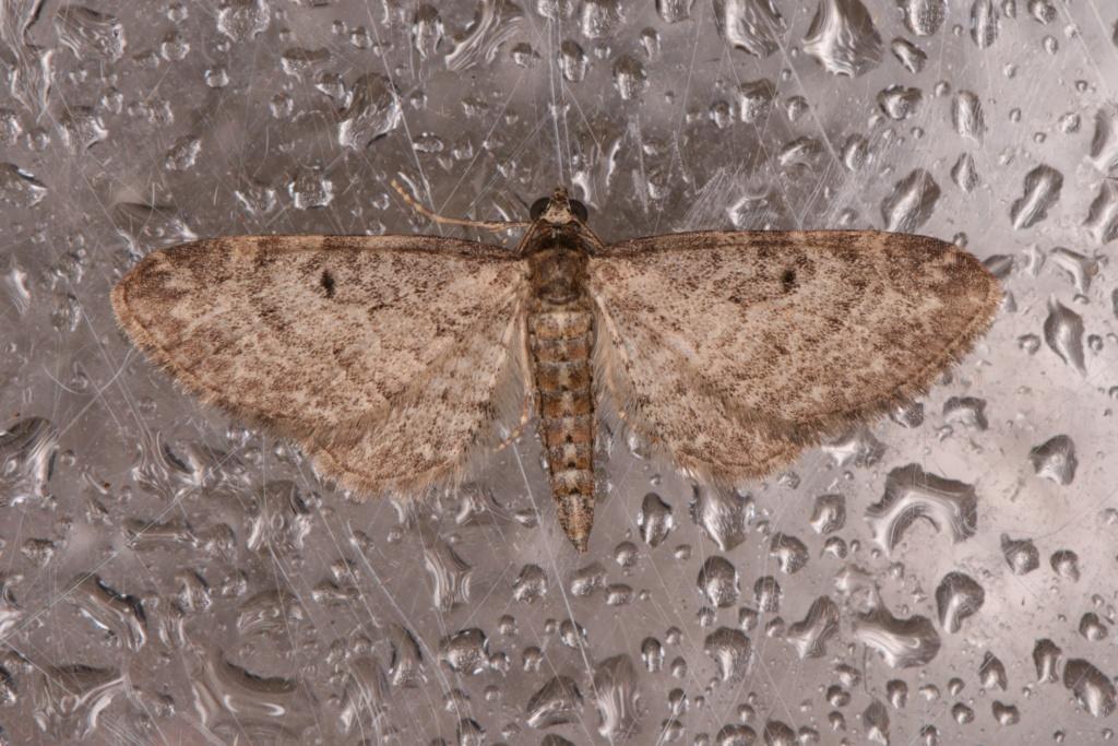 Eupithecia subfuscata ? Eupith14