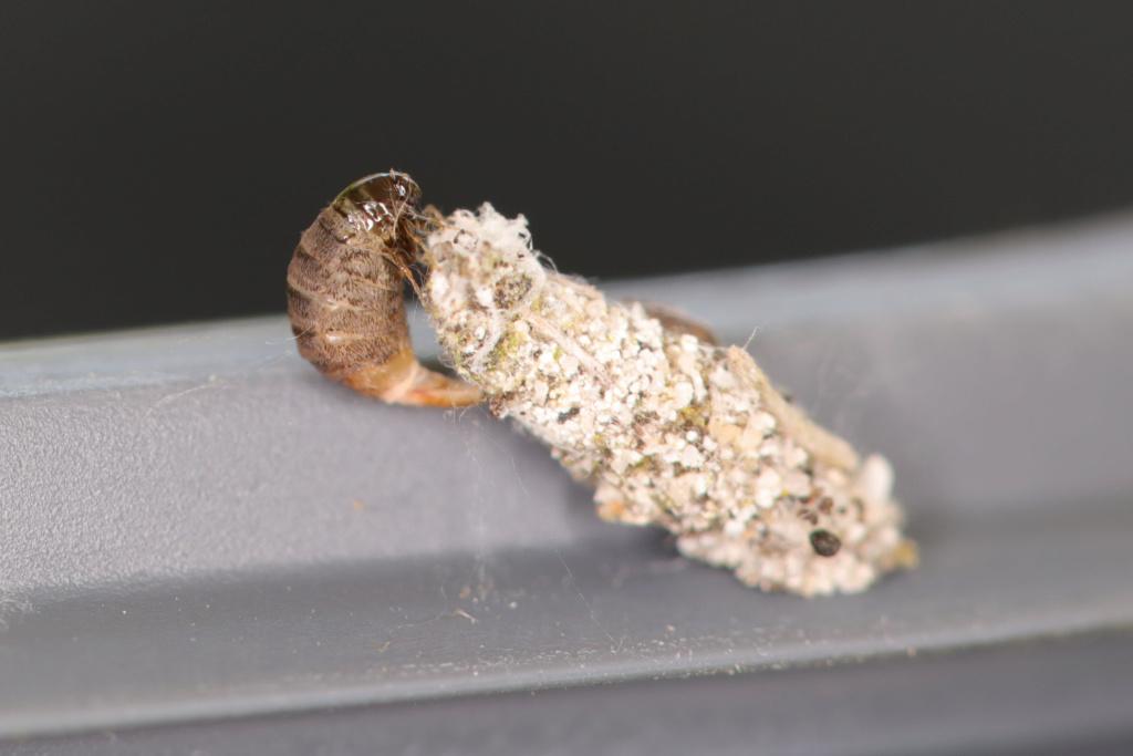 Psychidae : Luffia lapidella Luffia10
