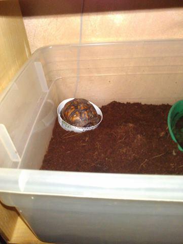 tiny baby box turtlle asleep in food dish 37957610