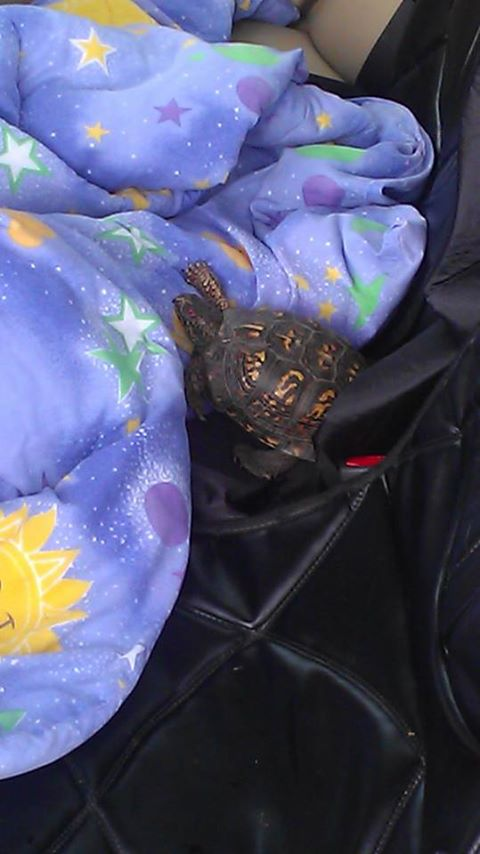 rescued box turtle takes over back seat 41915010