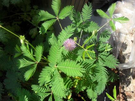Mimosa Pudica de Schilliger 22_08_10