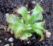 Spatulata de jardinerie francaise (encore un cadeau) 310