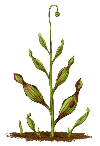 Archaeamphora Longicervia (plante carnivore préhistorique) 413px-11