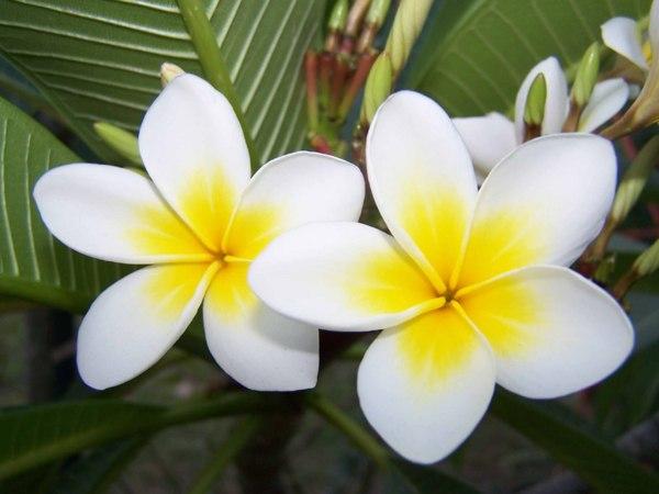 cherche info sur les frangipanier Fleur110