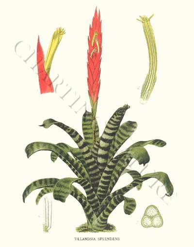 Quelqu'un connaît cette plante ? --> Broméliacé Vriesea Splendens Img5cb10