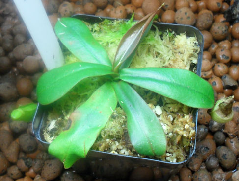 Ma Nepenthes Benstonei Lensto10