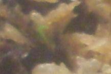 Semis de drosera madagascariensis Pousse12