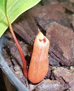 Ma Nepenthes Ventricosa Urne_b10