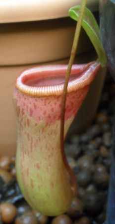 Ma Nepenthes Ventricosa - Page 2 Urne_s10