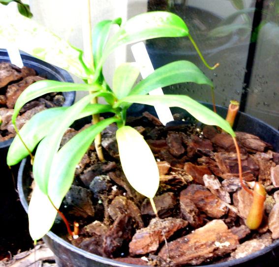 Ma Nepenthes Ventricosa Ventri10
