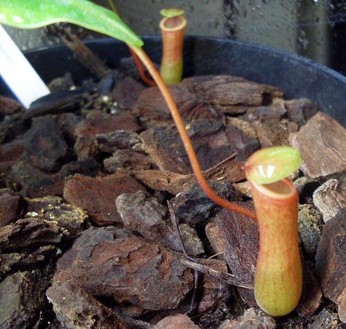 Ma Nepenthes Ventricosa Ventri11