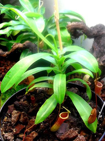 Ma Nepenthes Ventricosa Ventri12