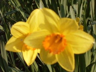 premieres fleurs Sdc13414