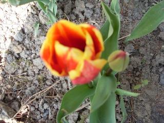 premieres fleurs Sdc13415