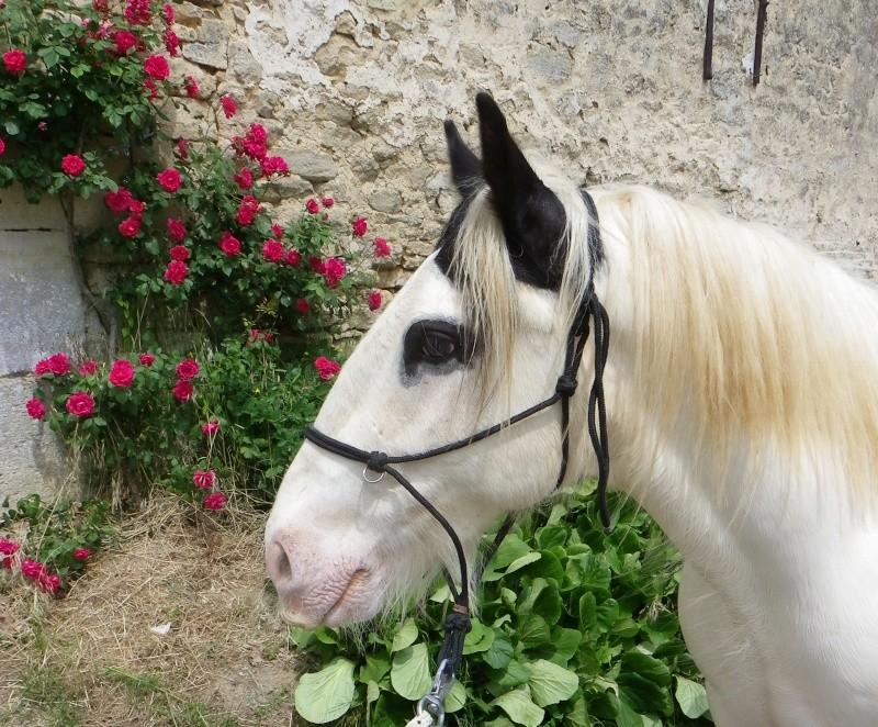 """Votez pour """"L'irish cob dans les fleurs"""" Imgp2610"""