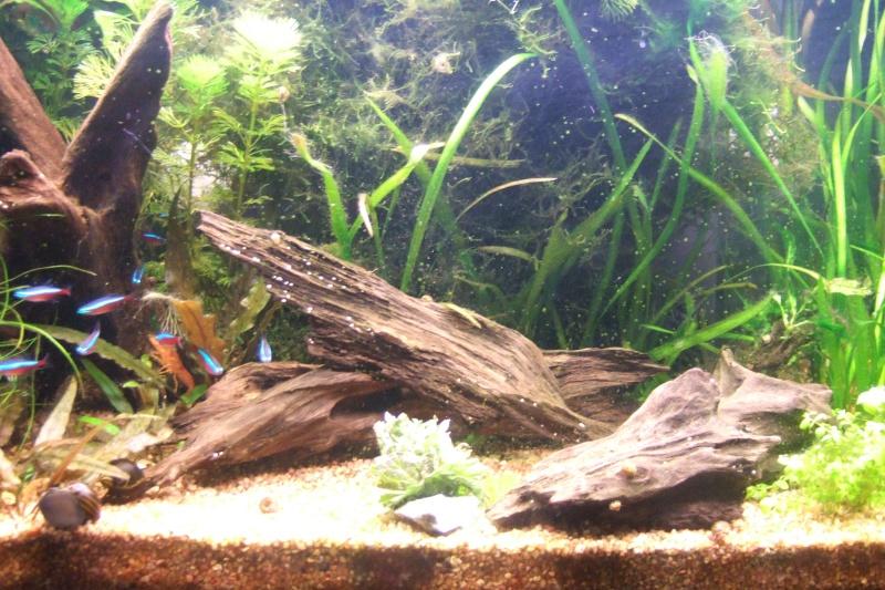 Mes aquariums - Page 4 Dscf3022