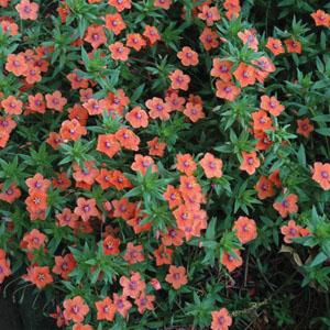 Le mouron des champs (Anagallis arvensis) Anagal11