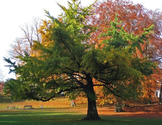 le Gingko biloba, un arbre extraordinaire Ginkgo10