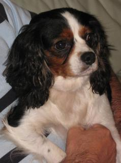 Mitzi and Heidi - Cavalier Sisters need a home Mitzi10