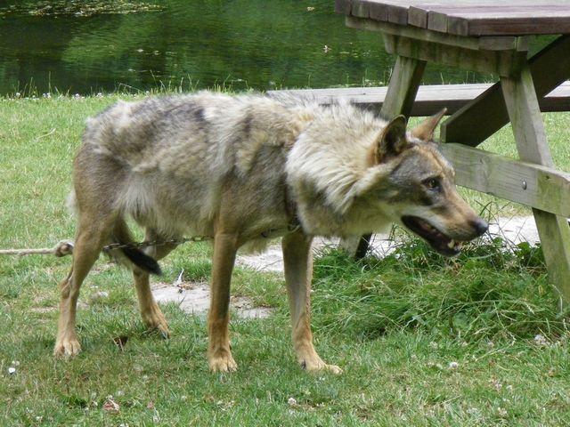 rencontre avec 3 loups Tn_img30